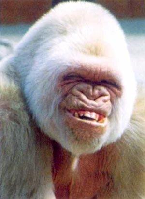 Funny-White-Gorrila-Smiling.jpg