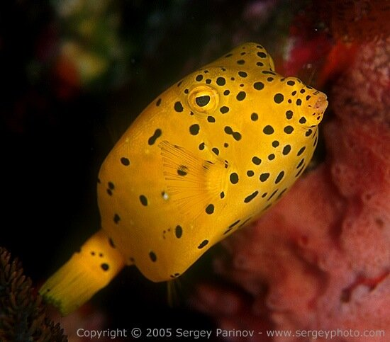Yellow boxfish - Ostracion cubicus 2.jpg