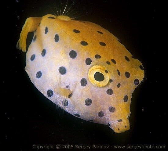 Yellow boxfish - Ostracion cubicus.jpg