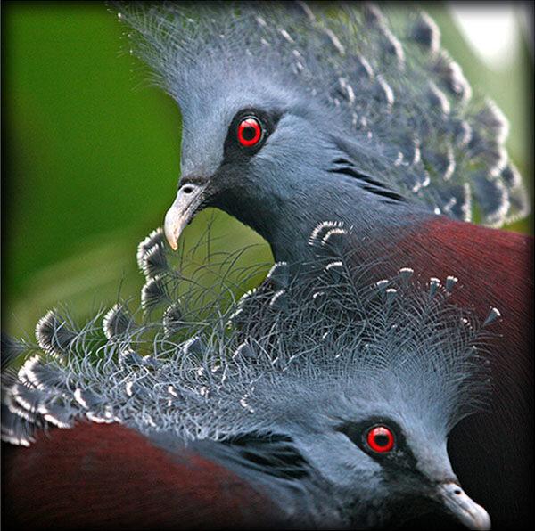 Victorian Crown pigeons